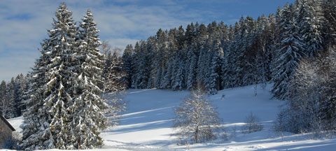 snowy evergreen trees in the Black Forest, Germany